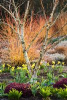 Mixed border with Erica x darleyensis 'Kramer's Rote', Betula apoiensis 'Mount Apoi', Narcissus 'February Gold' and Cornus sanguinea 'Midwinter Fire' - The Winter Garden at The Bressingham Gardens, Norfolk