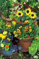 Cottage garden style Summer containers with Helianthus 'Choc Chip' - Dwarf Sunflowers, Calendula - Marigolds and Violas - Pansies and the vegetables, red leaved Brussels sprouts in a watering can and lettuce 'Tom Thumb' in an old saucepan
