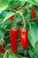 Capsicum 'Apache' - Chilli pepper