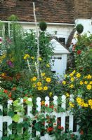 Cottage style front garden packed with colour in summer. Helianthus, Helenium, Verbascum, white picket fence and topiary spirals.