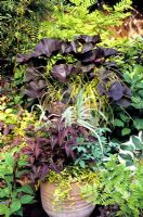Choice selection of contrasting foliage plants growing in two large terracotta pots. Ligularia 'Britt- Marie Crawford' and Carex elata 'Aurea' (rear), Arundo donax 'Variegata', Persicaria microcephala Red Dragon, Vinca 'Illumination' and Melianthus majus