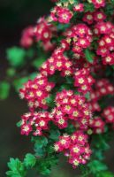 Crataegus laevigata 'Punicea' syn. 'Crimson Cloud' - Close up of flowers in May