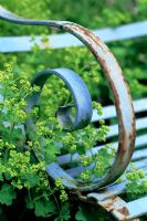 Detail of blue wrought iron bench with Alchemilla mollis - Ladys Mantle in June