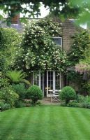 Rosa 'Madame Alfred Carriere' trained on gable wall of house in town garden with 