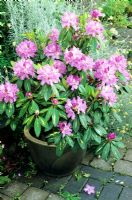 Variegated Rhododendron 'Goldflimmer' growing in a frostproof glazed ceramic pot stood on brick paving