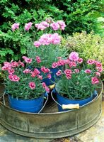 Dwarf, scented Dianthus - alpine pinks displayed on a table in small blue buckets contained in an old metal riddle with Thymus in the background
