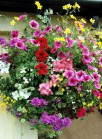 Eight varieties of foliage and flower in a summer hanging basket - Petunias, Sutera, plectranthus, Scaevola, Oxalis vulcanicola, Bidens, Verbena and trailing, variegated Nepeta