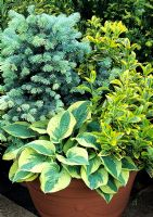 Three bold, contrasting foliage plants form a permanent composition in a large plastic container - Picea pungens 'Globosa' with Hosta 'Wide Brim' and Euonymus japonicus 'Ovatus Aureus'