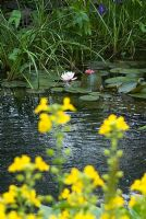 Mimulus luteus - Yellow monkey flower in the foreground and a Nymphaea - Waterlily on a Natural Swimming Pond in Cambridge