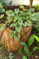 Heuchera americana 'Dale's Strain' growing in a stump