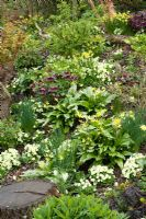 Primula vulgaris and Erythronium 'Pagoda' growing with Helleborus and Narcissus in John Massey's dell garden