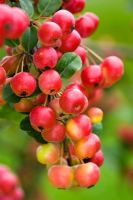 Malus x robusta 'Red Sentinel' AGM - Crab apple
