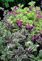 Scented leaved herbs colour themed in purple, pink and silver - Salvia officinalis 'Tricolor' with Thymus 'Silver Queen' and the unusual variegated Calamintha grandiflora 'Variegata'