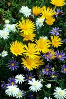 Contrasting summer daisies for a hot spot - Blue Felicea, yellow Osteospermum and white Argyranthemum.