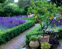 Potted cumquat by hedged Lavandula beds