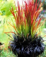 Potted Japanese blood grass, Imperata cylindrica 'Rubra' and black mondo, Ophiogogon planiscapus 'Nigrescens'