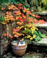 Acer palmatum in terracotta pot with pebble mulch