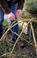 Tying stems of Rosa to dome using soft twine