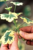 Removing lower leaves from Pelargonium cutting