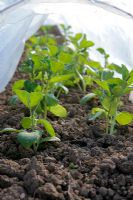 An early sowing of Broad beans protected under a polythene tunnel cloche
