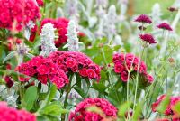 Dianthus barbatus - Sweet William, perennial grown as a biennial, Knautia macedonica syn. Scabiosa rumelica and Stachys byzantina