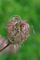 Seed head of Clematis alpina 'Frankie'