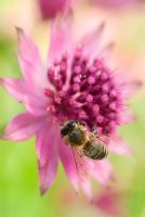 Astrantia major 'Roma' flower with Bee