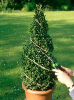 Using string as a guide to create a Buxus - Box spiral