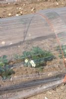 Poly tunnel covering strawberry plants