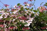 Clematis montana and Lonicera - Honeysuckle, flowering at the end of May