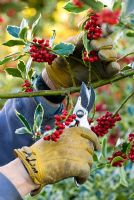 Cutting Holly (Ilex x altaclerensis Golden King) stems covered with red berries for Christmas arrangements with secateurs.