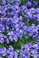 Phlox paniculata 'Blue Paradise' flowering in August