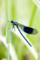 Male banded demoiselle damselfly resting on a grass stem