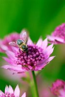 Bee on Astrantia major 'Roma'
