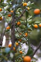x Citrofortunella - Calamondin