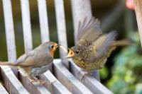 European adult robin feeding young on a garden seat