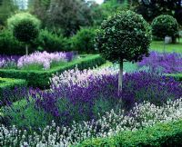 Topiary Ilex - Holly standards in hedged lavender beds