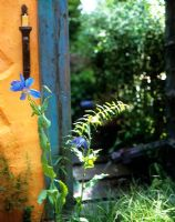 Painted wall with blue timber, view through to garden path, Meconopsis in foreground