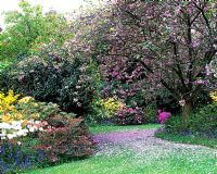 Informal Spring garden with Prunus - Cherry blossom, lawn and beds with Rhododendron