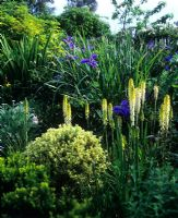 Yellow and blue combination with Iris and Kniphofia
