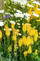 Summer border with Kniphofia 'Bressingham Sunbeam' and Leucanthemum x superbum 'Phyllis Smith' at Hampton Court Show 2007, 'The Growing Schools Garden '