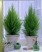 Cupressus macrocarpa 'Goldcrest' in white pots in window sill
