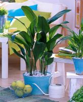 Aspidistra and Chamaedorea in bright blue pots in living room
