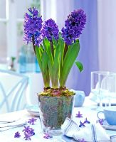 Hyacinthus orientalis - Hyacinths in glass pot with moss