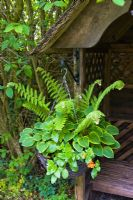 Hanging basket with Hostas, ferns and Mimulus. Slug proof method of growing hostas in Kathy Brown's Garden