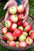 Man putting freshly picked apples - Malus 'Discovery' in basket