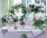 Arrangement with white flowering houseplants including Rhododendron simsii Jasminum polyanthum and Ficuspumila 'Sunny'