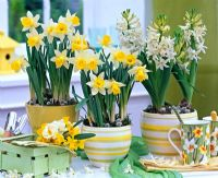 Narcissus and Hyacinthus in stripy containers on table with mugs