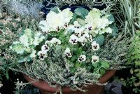 White themed container in a terracotta pot for the autumn and winter leading up to Christmas. Winter pansies, dwarf variegated Euonymus, ornamental cabbage and bud heathers - Calluna vulgaris 'Marleen'.