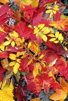 Palette of autumn leaves showing varieties that colour red, yellow and orange including Rosa rugosa, Rhus typhina 'Dissecta', Acer palmatum 'Osakazuki', Acer japonicum 'Aconitifolium', Hamamelis and horse chestnut.